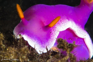 Hypselodoris apolegma/This is a 100 mm macro lens close-u... by Laurie Slawson