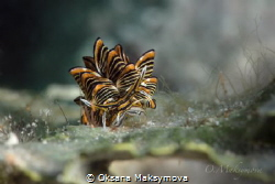 Nudibranch Cyerce nigra by Oksana Maksymova