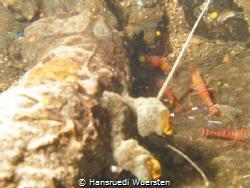 Shrimps on Okikawa Wreck by Hansruedi Wuersten
