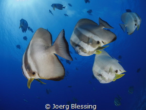Batfish by Joerg Blessing