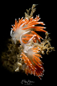 Flabellina gracilis, Oosterschelde, Zeeland, The Netherlands by Filip Staes
