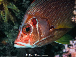This longjaw squirlfish  was rather shy, but couldn't res... by Tim Steenssens