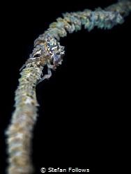 Edgy  Xeno Crab - Xenocarcinus tuberculatus  Ang Thon... by Stefan Follows