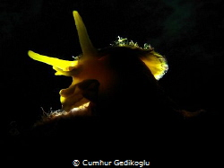 Tylodina perversa Back lighted by Cumhur Gedikoglu