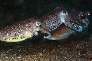 Cuttlefish Quadruplets/Photograph of four cuttlefish in L... by Laurie Slawson