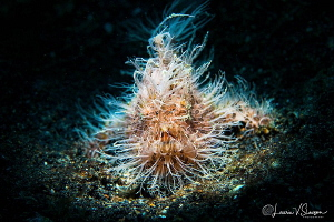 Striated frogfish/Photographed with 60 mm macro lens and ... by Laurie Slawson