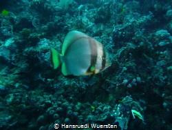 Hump-headed Spadefish (Batfish) - Platax batavianus by Hansruedi Wuersten