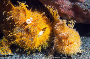 Wow, What A Party!/Striated frogfish photographed with 60... by Laurie Slawson
