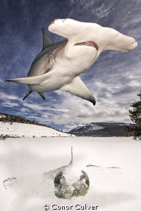 """Hide and Seek"" The Great Hammerhead shark's favorite foo... by Conor Culver"