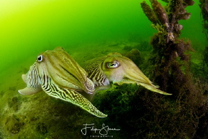 Cuttlefish, Oosterschelde, Zeeland, The Netherlands by Filip Staes