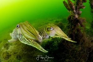 Cuttlefish, Oosterschelde, Zeeland, The Netherlands by Filip Staes