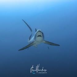 Pelagic Thresher Shark (Alopias pelagicus) by Jan Wouters