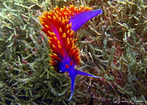 Spanish Shawl/Photographed at San Antonio Point, San Carl... by Laurie Slawson