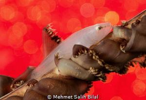 Albino wire coral goby. by Mehmet Salih Bilal