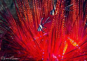 Juvenile Banggai Cardinal Fish Hiding in a Fire Urchin/Ph... by Laurie Slawson