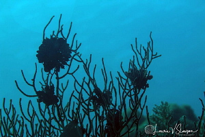 Crinoids Silhouette/Photographed with a 60 mm macro lens ... by Laurie Slawson