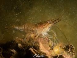Just a shrimp (gewone steurgarnaal, palaemon serratus) by Eduard Bello
