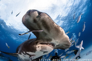 Great Hammerheads are quick and come in fast when hunting... by Steven Anderson