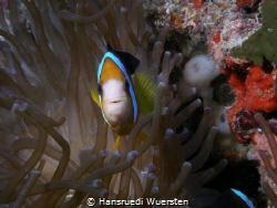 Dusky Anemonefish - Amphiprion melanopus by Hansruedi Wuersten