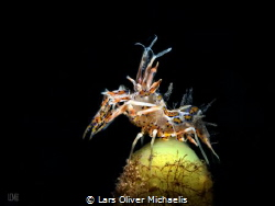 the model´s pose (snooted tiger shrimp @ Lembeh) also m... by Lars Oliver Michaelis