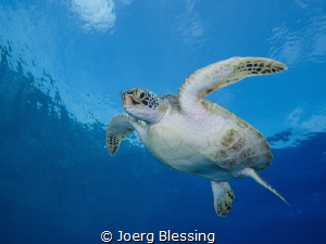 Beautiful young green turtle by Joerg Blessing