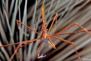 Pick-up Sticks....arrow crab and longspine sea urchin by John Roach