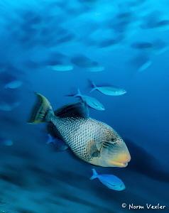 Yellowmargin Triggerfish in the Maldives. by Norm Vexler