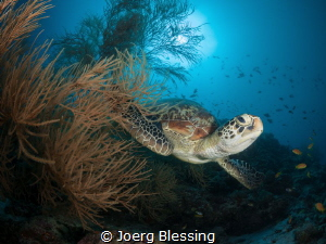 This green turtle found a very comfortable black coral bush. by Joerg Blessing