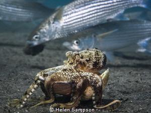A coconut (veined) Octopus stilt walking surreptitiously ... by Helen Sampson