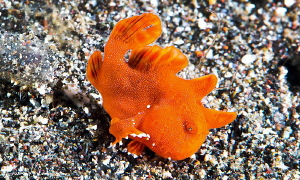 Juvenile Painted Frogfish Going For A Walk/Photographed w... by Laurie Slawson
