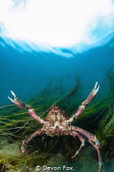 Attack of the Sheep Crab! / These large crabs are often f... by Devon Fox