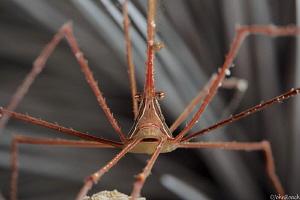 Arrow Crab  Stenorhynchus seticornis Bonaire by John Roach