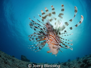 Lionfish Sunburst by Joerg Blessing
