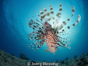 Lionfish Sunburst by Joerg Blessing