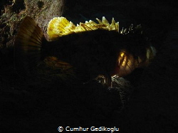 Scorpaena porcus Back lighted by Cumhur Gedikoglu