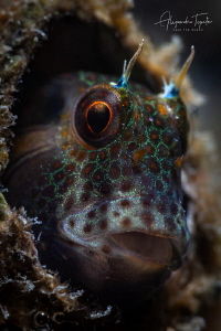 Blenny in home, La Paz Mexico by Alejandro Topete