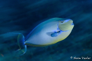 Bignose Unicornfish in the Maldives by Norm Vexler