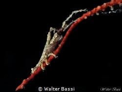 Astacilla mediterranea by Walter Bassi