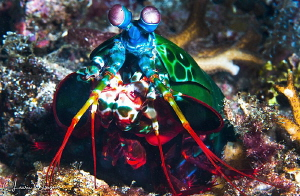 Peacock Mantis Shrimp/Photographed with a 60 mm macro len... by Laurie Slawson