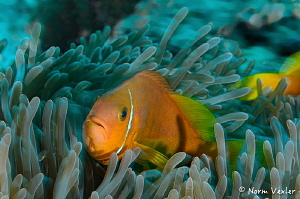 Black-footed Anemonefish in the Maldives. by Norm Vexler