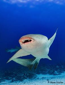 Nurse Shark close up in the Maldives. by Norm Vexler