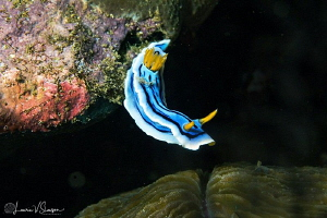 Chromodoris lochi/Photographed with a Canon 60 mm macro l... by Laurie Slawson