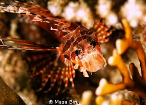 lion fish by Masa Biru