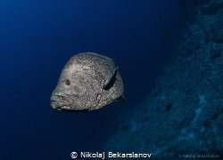 Sailfin grouper by Nikolaj Bekarslanov