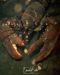 Common lobster, kreeft, homarus gammarus by Eduard Bello