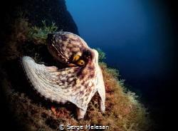 Octopus by Serge Melesan