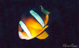 Clark's Anemonefish/Photograped with a Canon 60 mm macro ... by Laurie Slawson