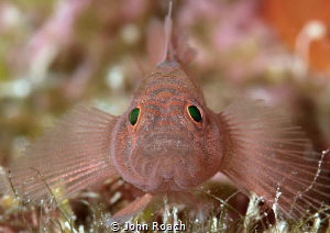 Rusty Goby  Priolepis hipoliti Bonaire Netherlands Anti... by John Roach