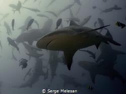 Bull shark dance by Serge Melesan