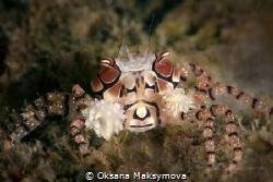 Boxer crab (Lybia tessellata) Ambon, Indonesia by Oksana Maksymova